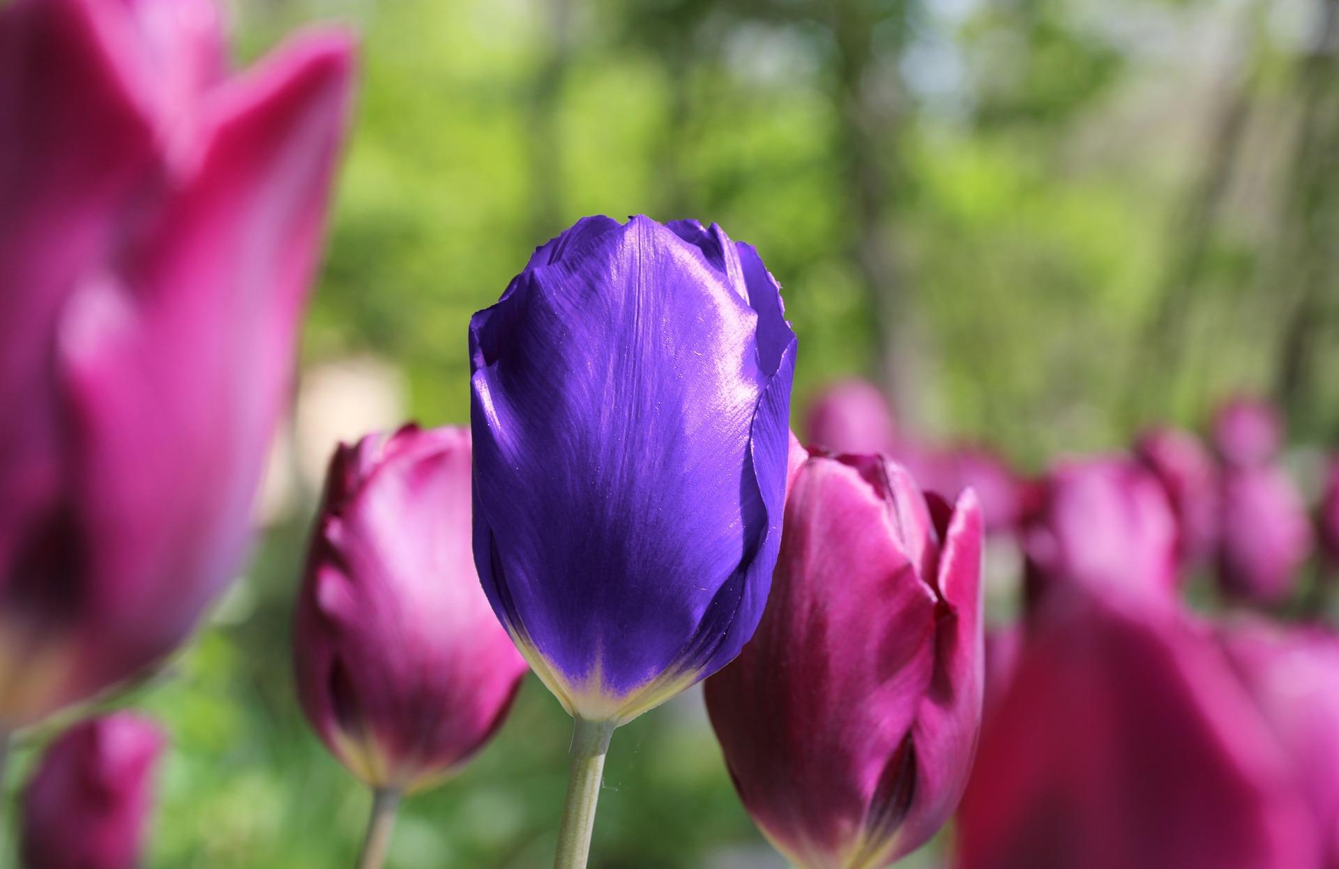 tulip-2240347_1920